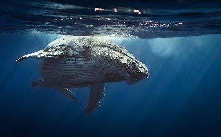 Wal in der Dominikanischen Republik