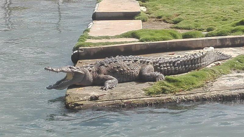 Krokodille Black River_2